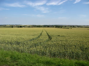 Field of wheat East Anglia